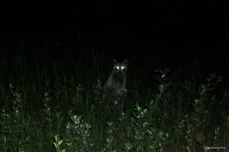raccoon Orlando